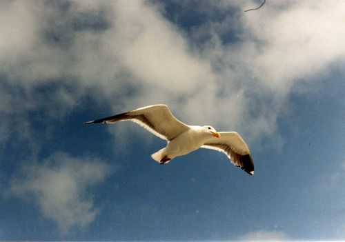 Jonathan_Livingston_Seagull_taken_by_Mom_for_Dad